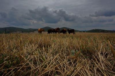 Cows in Armenia